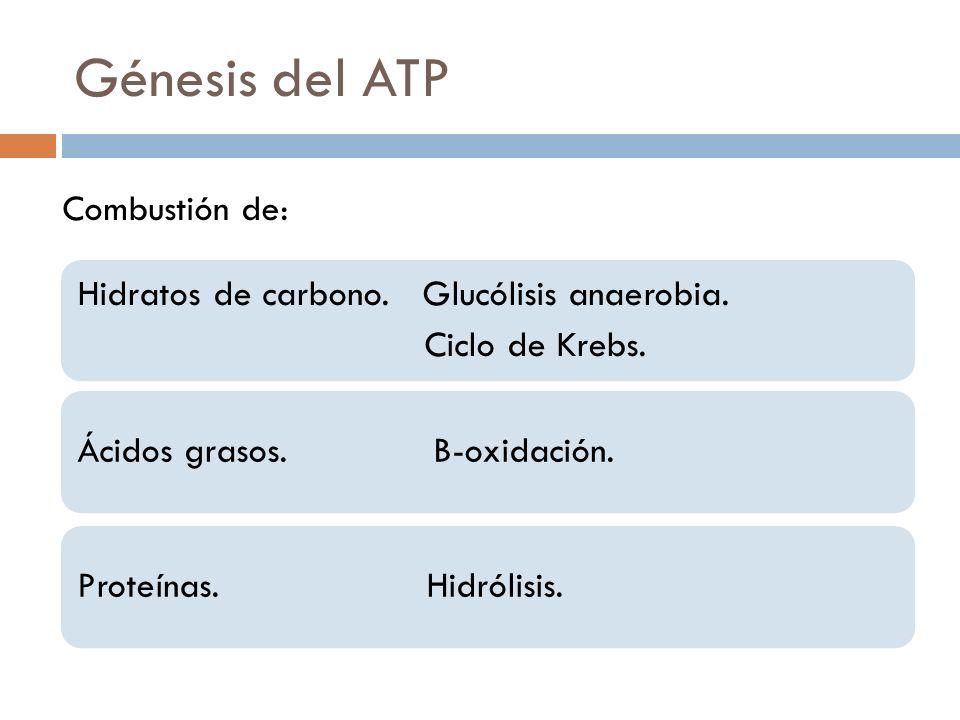 Génesis del ATP Hidratos de carbono. Glucólisis anaerobia. Ciclo de Krebs. Ácidos grasos. B-oxidación.Proteínas. Hidrólisis. Combustión de:
