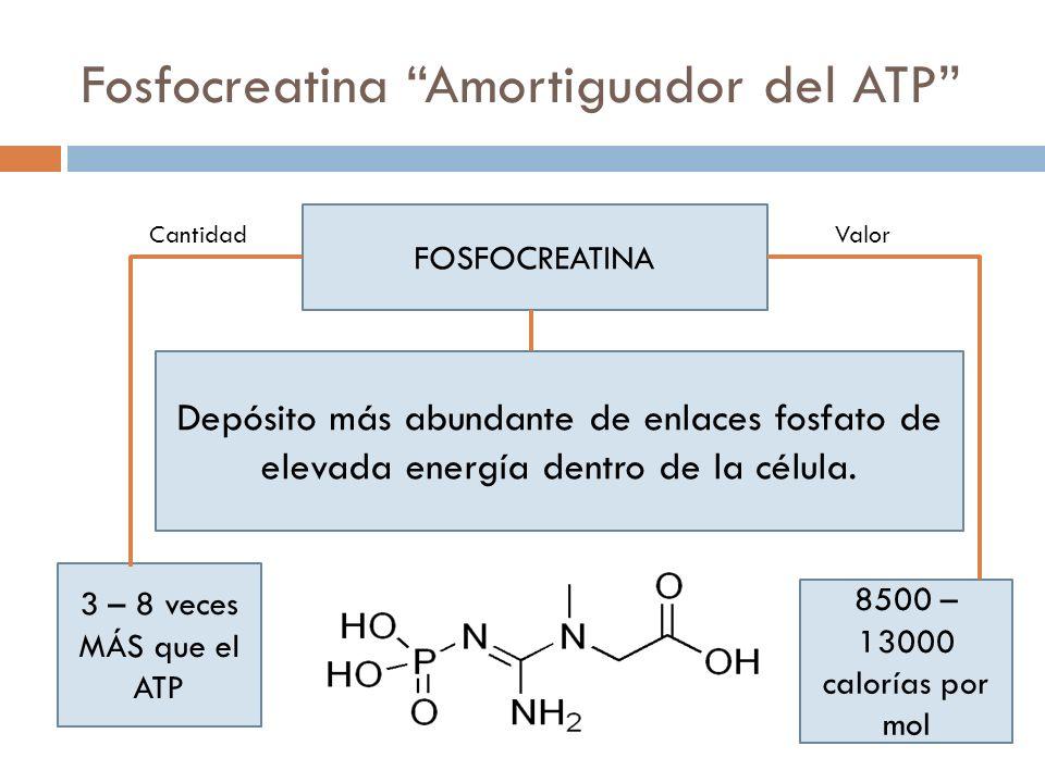 Fosfocreatina Amortiguador del ATP Depósito más abundante de enlaces fosfato de elevada energía dentro de la célula. FOSFOCREATINA 3 – 8 veces MÁS que