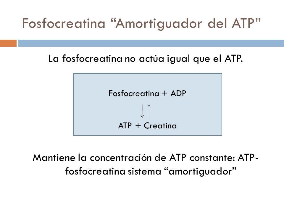 Fosfocreatina Amortiguador del ATP La fosfocreatina no actúa igual que el ATP. Mantiene la concentración de ATP constante: ATP- fosfocreatina sistema