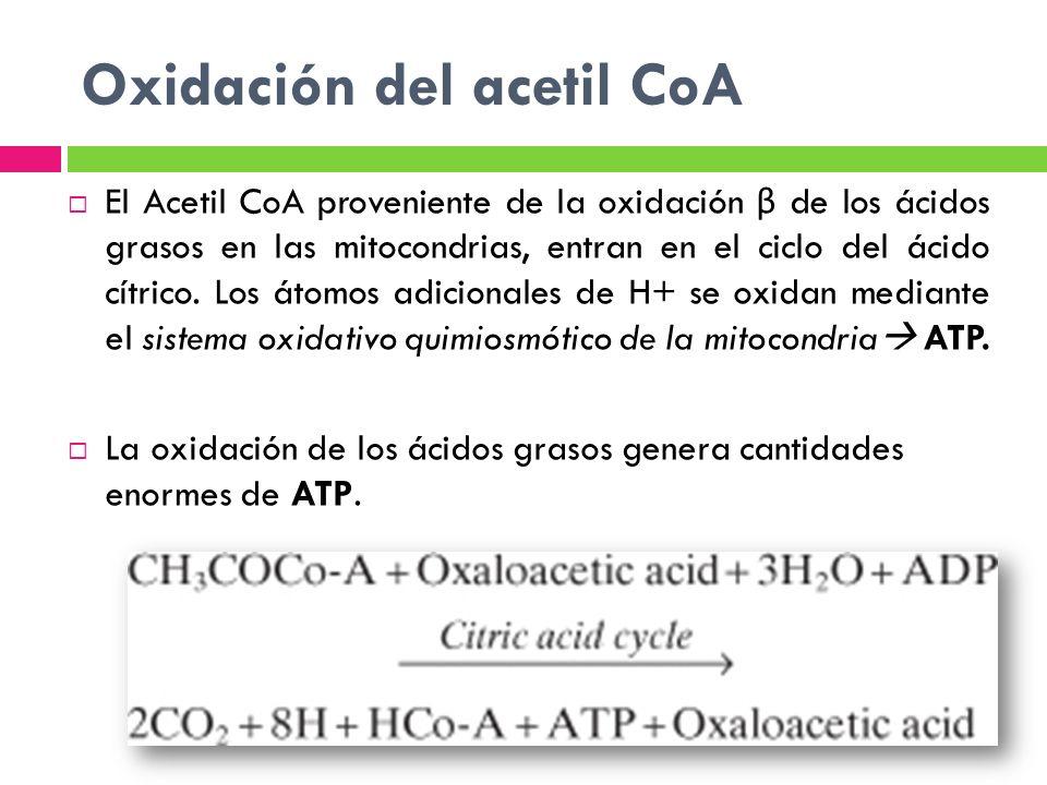 Oxidación del acetil CoA El Acetil CoA proveniente de la oxidación β de los ácidos grasos en las mitocondrias, entran en el ciclo del ácido cítrico. L