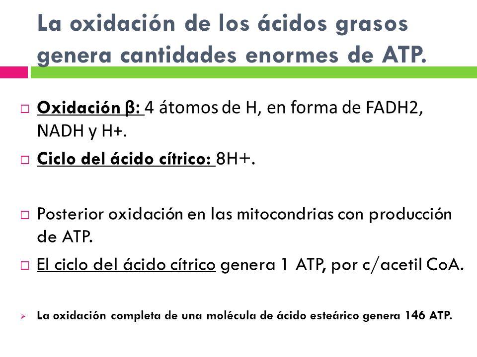 Oxidación β: 4 átomos de H, en forma de FADH2, NADH y H+. Ciclo del ácido cítrico: 8H+. Posterior oxidación en las mitocondrias con producción de ATP.