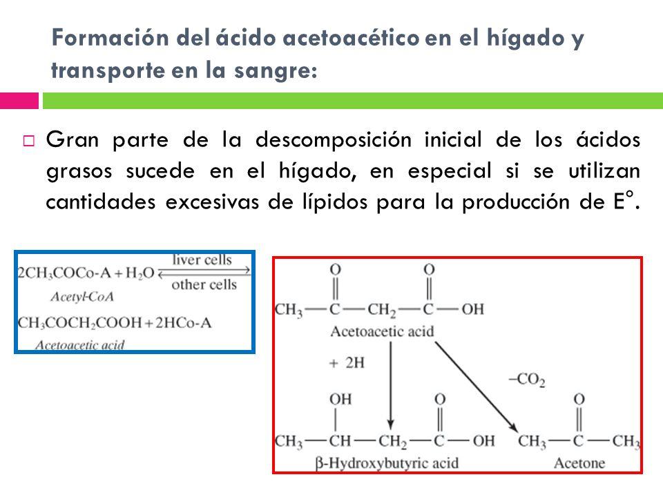 Formación del ácido acetoacético en el hígado y transporte en la sangre: Gran parte de la descomposición inicial de los ácidos grasos sucede en el híg