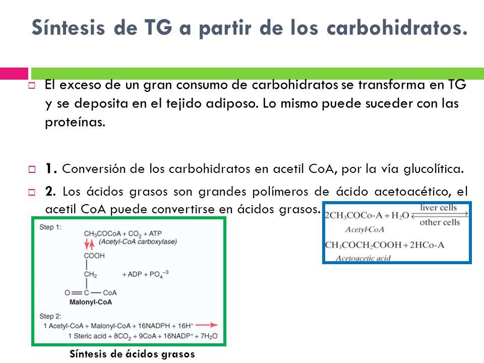Síntesis de TG a partir de los carbohidratos. El exceso de un gran consumo de carbohidratos se transforma en TG y se deposita en el tejido adiposo. Lo