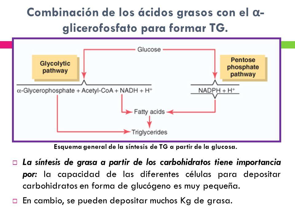Combinación de los ácidos grasos con el α - glicerofosfato para formar TG. La síntesis de grasa a partir de los carbohidratos tiene importancia por: l