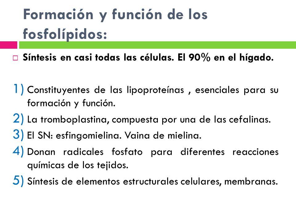 Formación y función de los fosfolípidos: Síntesis en casi todas las células. El 90% en el hígado. 1) Constituyentes de las lipoproteínas, esenciales p