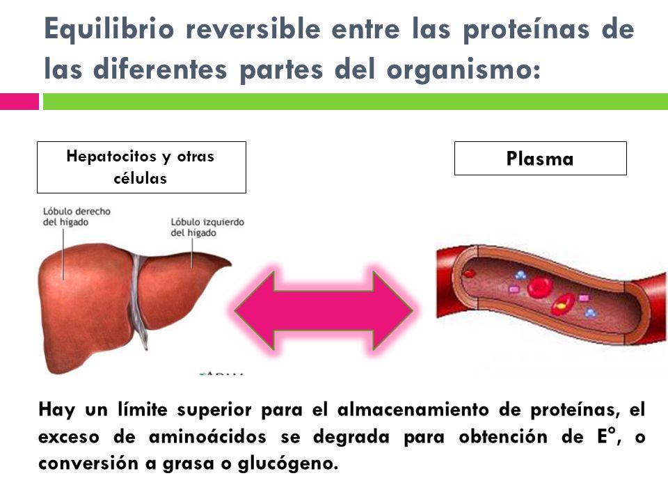 Equilibrio reversible entre las proteínas de las diferentes partes del organismo: Hepatocitos y otras células Plasma Hay un límite superior para el al