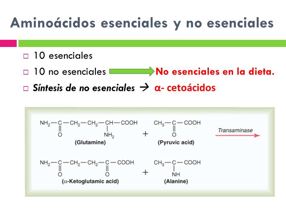 Aminoácidos esenciales y no esenciales 10 esenciales 10 no esenciales No esenciales en la dieta. Síntesis de no esenciales α- cetoácidos