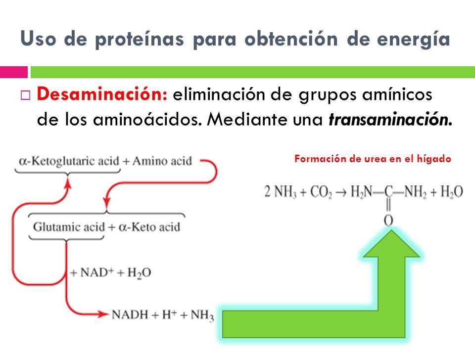 Uso de proteínas para obtención de energía Desaminación: eliminación de grupos amínicos de los aminoácidos. Mediante una transaminación. Formación de