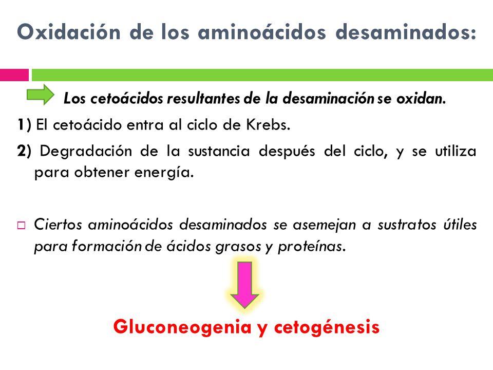 Oxidación de los aminoácidos desaminados: Los cetoácidos resultantes de la desaminación se oxidan. 1) El cetoácido entra al ciclo de Krebs. 2) Degrada