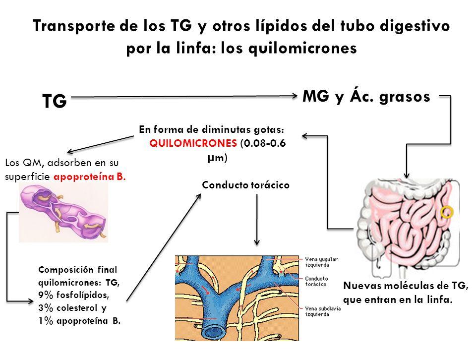 Transporte de los TG y otros lípidos del tubo digestivo por la linfa: los quilomicrones TG MG y Ác. grasos Nuevas moléculas de TG, que entran en la li