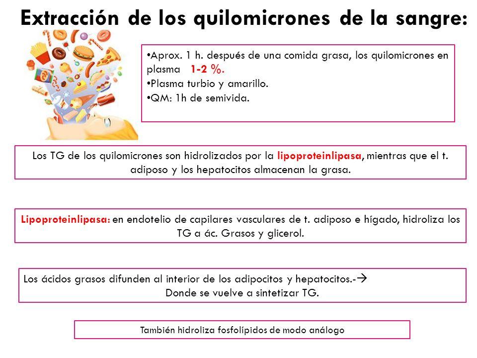 Los ácidos grasos difunden al interior de los adipocitos y hepatocitos.- Donde se vuelve a sintetizar TG. Los TG de los quilomicrones son hidrolizados