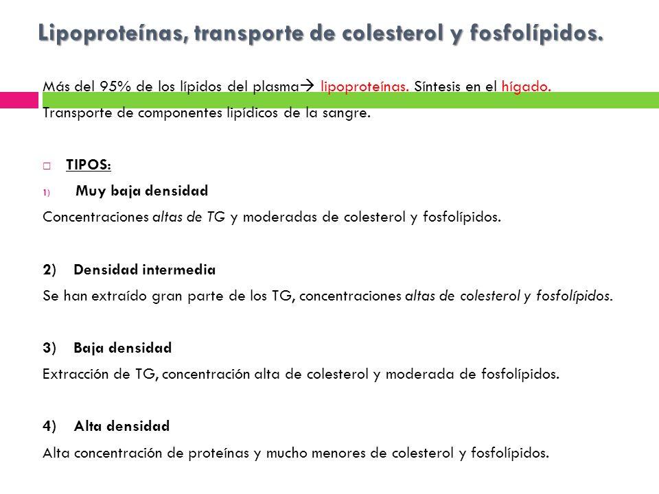 Lipoproteínas, transporte de colesterol y fosfolípidos. Más del 95% de los lípidos del plasma lipoproteínas. Síntesis en el hígado. Transporte de comp