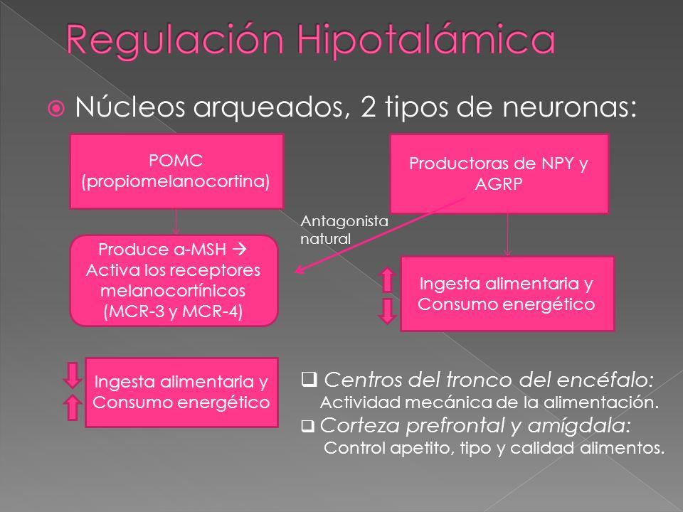 Núcleos arqueados, 2 tipos de neuronas: POMC (propiomelanocortina) Productoras de NPY y AGRP Produce a-MSH Activa los receptores melanocortínicos (MCR