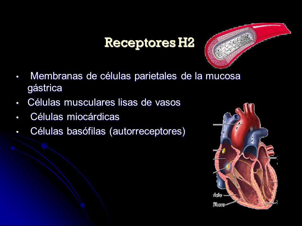 Vías respiratorias Vías respiratorias Tubo digestivo Tubo digestivo SNC (presináptica, actuando como autorreceptor) SNC (presináptica, actuando como autorreceptor) Receptores H3