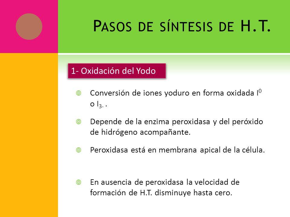 P ASOS DE SÍNTESIS DE H.T. Conversión de iones yoduro en forma oxidada I 0 o I 3-. Depende de la enzima peroxidasa y del peróxido de hidrógeno acompañ