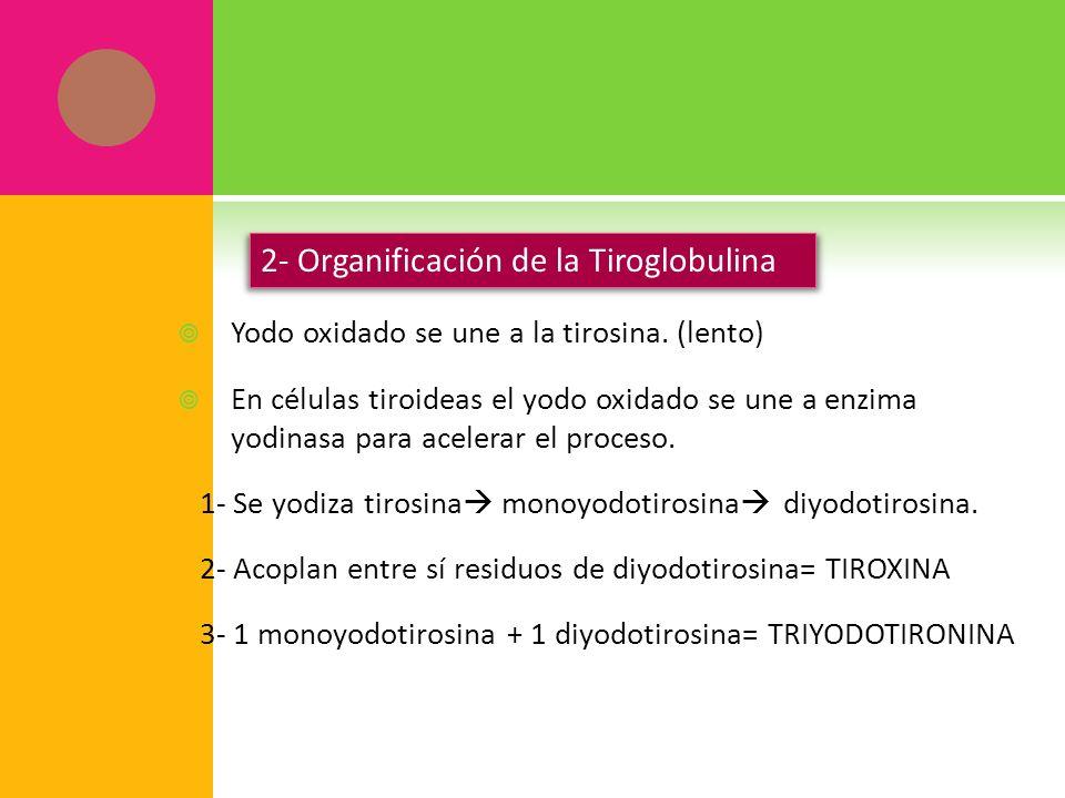 Yodo oxidado se une a la tirosina. (lento) En células tiroideas el yodo oxidado se une a enzima yodinasa para acelerar el proceso. 1- Se yodiza tirosi