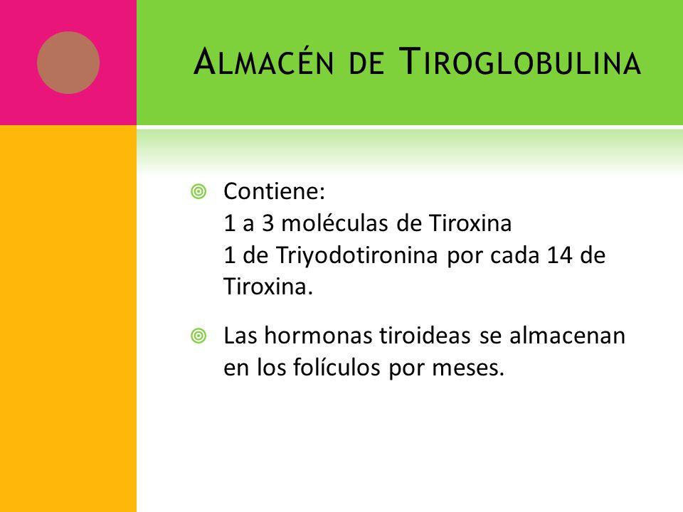 A LMACÉN DE T IROGLOBULINA Contiene: 1 a 3 moléculas de Tiroxina 1 de Triyodotironina por cada 14 de Tiroxina. Las hormonas tiroideas se almacenan en