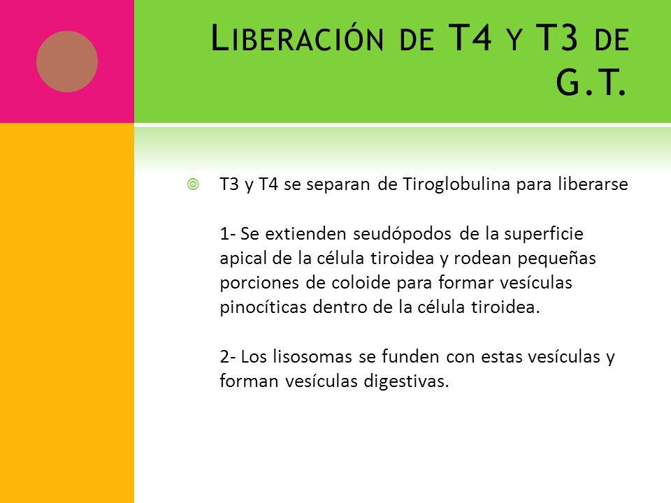 L IBERACIÓN DE T4 Y T3 DE G.T. T3 y T4 se separan de Tiroglobulina para liberarse 1- Se extienden seudópodos de la superficie apical de la célula tiro