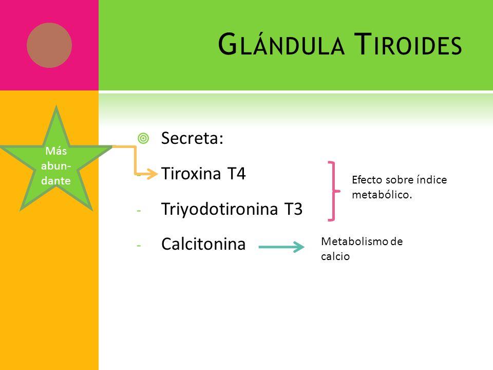 G LÁNDULA T IROIDES Secreta: - Tiroxina T4 - Triyodotironina T3 - Calcitonina Efecto sobre índice metabólico. Metabolismo de calcio Más abun- dante