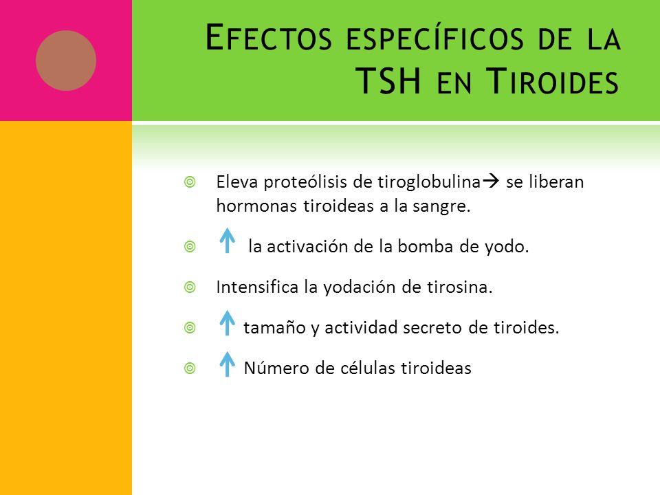 E FECTOS ESPECÍFICOS DE LA TSH EN T IROIDES Eleva proteólisis de tiroglobulina se liberan hormonas tiroideas a la sangre. la activación de la bomba de
