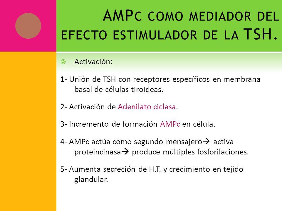 AMP C COMO MEDIADOR DEL EFECTO ESTIMULADOR DE LA TSH. Activación: 1- Unión de TSH con receptores específicos en membrana basal de células tiroideas. 2