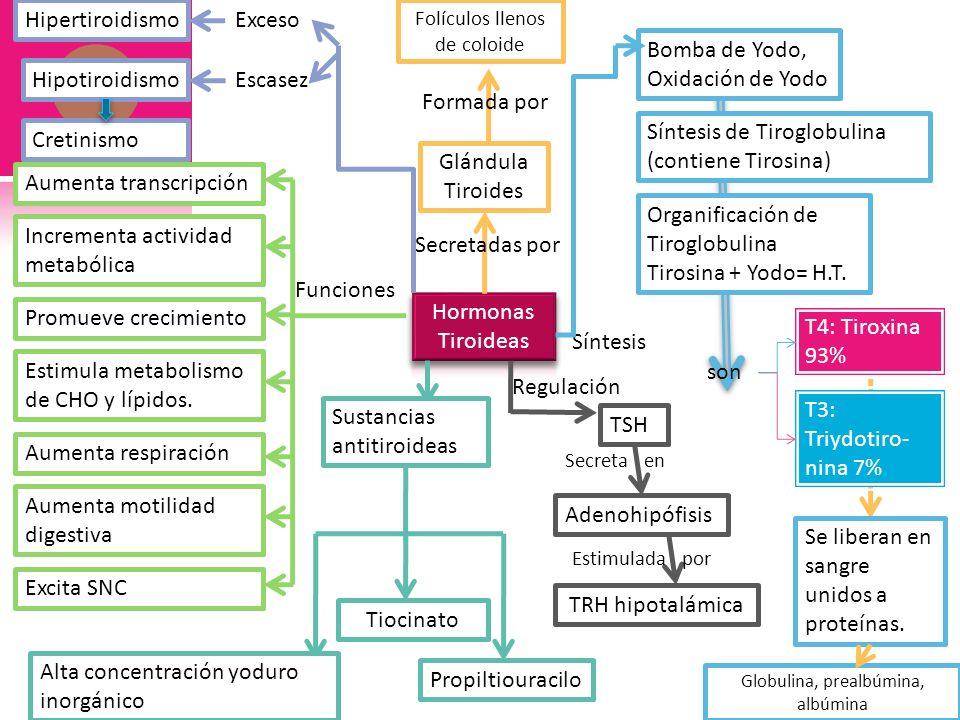Folículos llenos de coloide Secretadas por Glándula Tiroides Formada por Funciones Bomba de Yodo, Oxidación de Yodo Síntesis de Tiroglobulina (contien