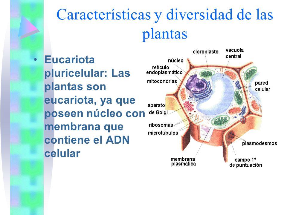 Posee cloroplastos Vacuola Grande y única Pared Celular