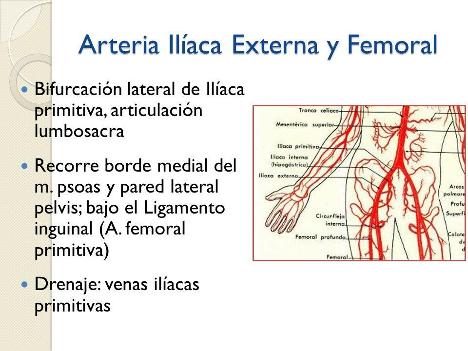 Arteria Ilíaca Externa y Femoral Bifurcación lateral de Ilíaca primitiva, articulación lumbosacra Recorre borde medial del m. psoas y pared lateral pe