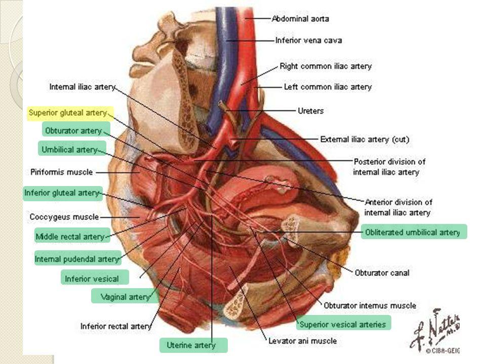 Arteria Pudenda Interna Origen en A.