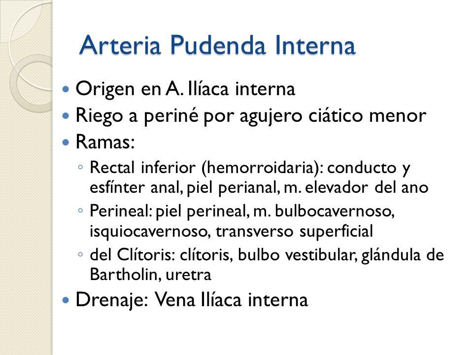 Arteria Pudenda Interna Origen en A. Ilíaca interna Riego a periné por agujero ciático menor Ramas: Rectal inferior (hemorroidaria): conducto y esfínt