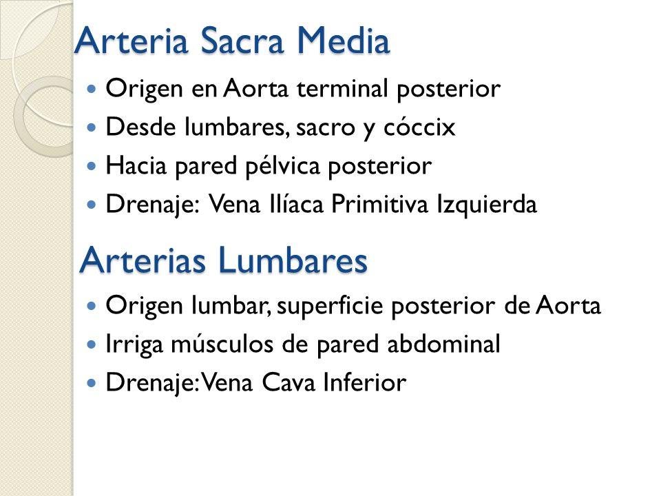 Arteria Sacra Media Origen en Aorta terminal posterior Desde lumbares, sacro y cóccix Hacia pared pélvica posterior Drenaje: Vena Ilíaca Primitiva Izq