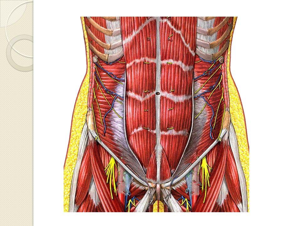 Sistema Linfático Grupos o cadenas que siguen trayectoria de vasos pélvicos cercanos a las vísceras Los linfáticos de pelvis reciben linfáticos aferentes viscerales y parietales pélvicos y perineales y emiten linfáticos eferentes hacia los grupos ganglionares más proximales.