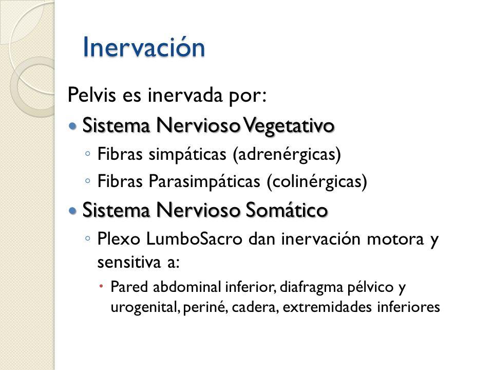 Inervación Pelvis es inervada por: Sistema Nervioso Vegetativo Sistema Nervioso Vegetativo Fibras simpáticas (adrenérgicas) Fibras Parasimpáticas (col