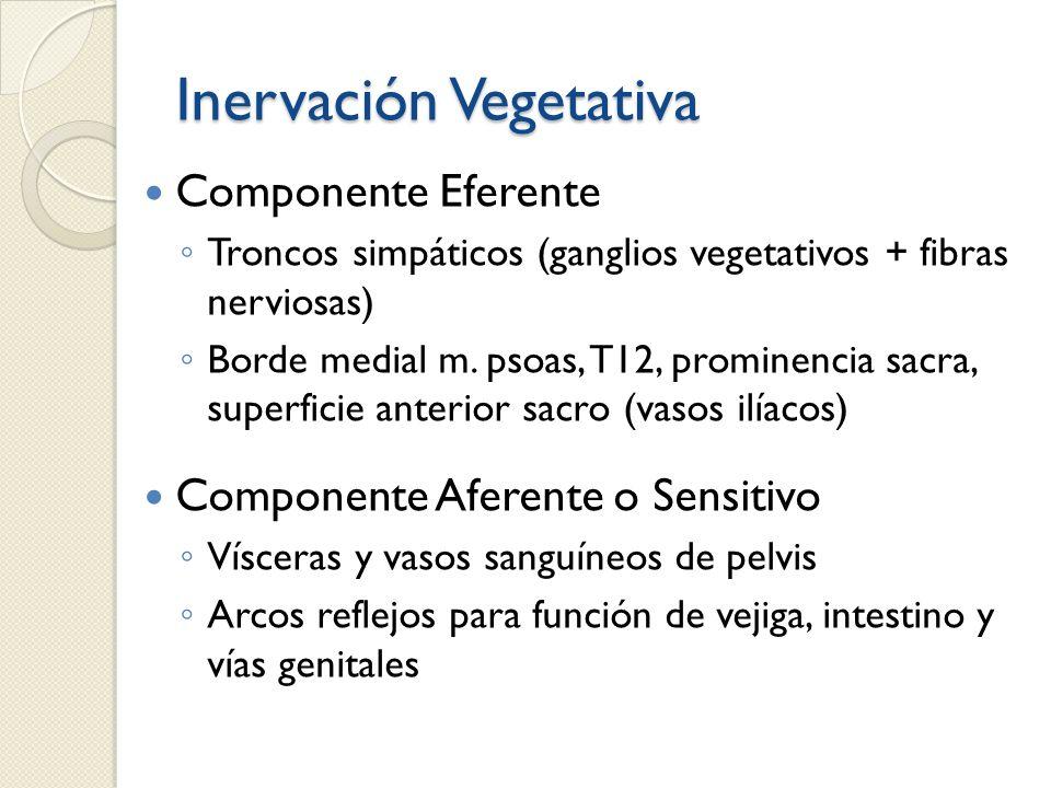 Inervación Vegetativa Componente Eferente Troncos simpáticos (ganglios vegetativos + fibras nerviosas) Borde medial m. psoas, T12, prominencia sacra,