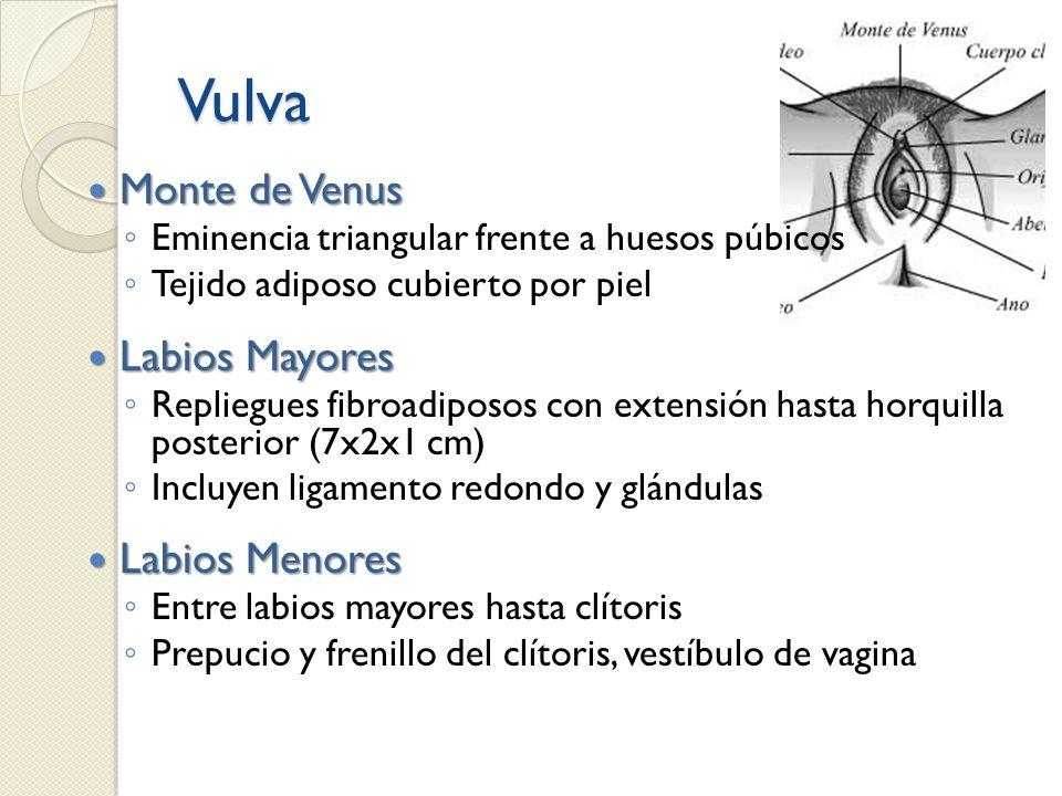 Vulva Monte de Venus Monte de Venus Eminencia triangular frente a huesos púbicos Tejido adiposo cubierto por piel Labios Mayores Labios Mayores Replie