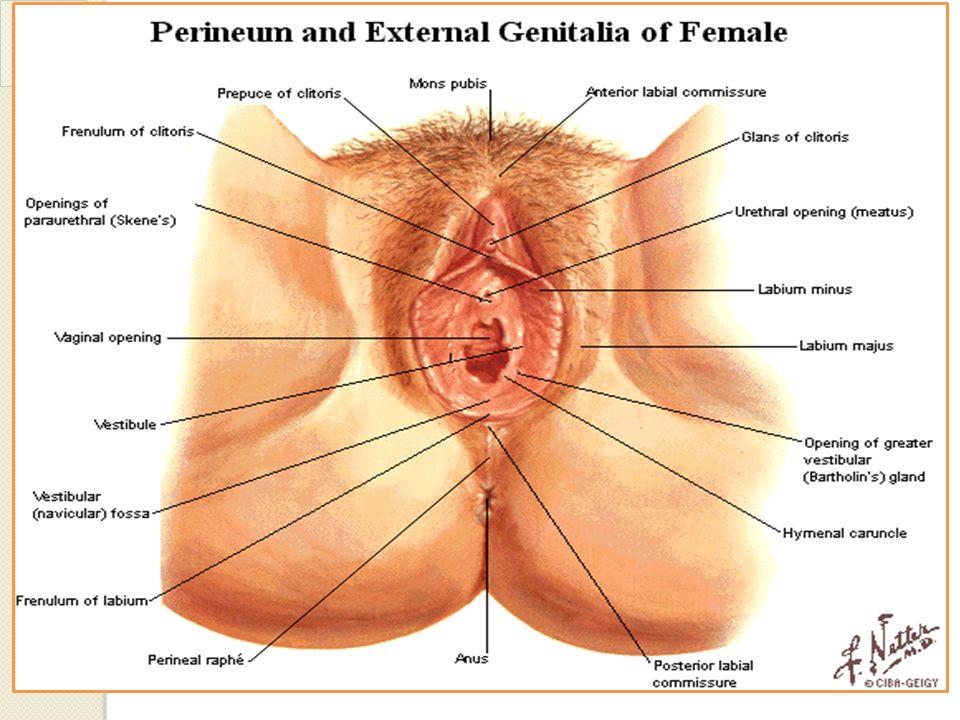 Compartimiento Perineal Superficial Fascia perineal superficial Fascia inferior del Diafragma Urogenital (membrana perineal) Capa Profunda o Fascia de Colles Capa Superficial Fascia de Scarpa & Ramas Isquiopúbicas y Tuberosidades Isquiáticas Fascia de Camper & muslos