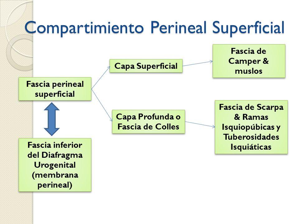 Compartimiento Perineal Superficial Fascia perineal superficial Fascia inferior del Diafragma Urogenital (membrana perineal) Capa Profunda o Fascia de
