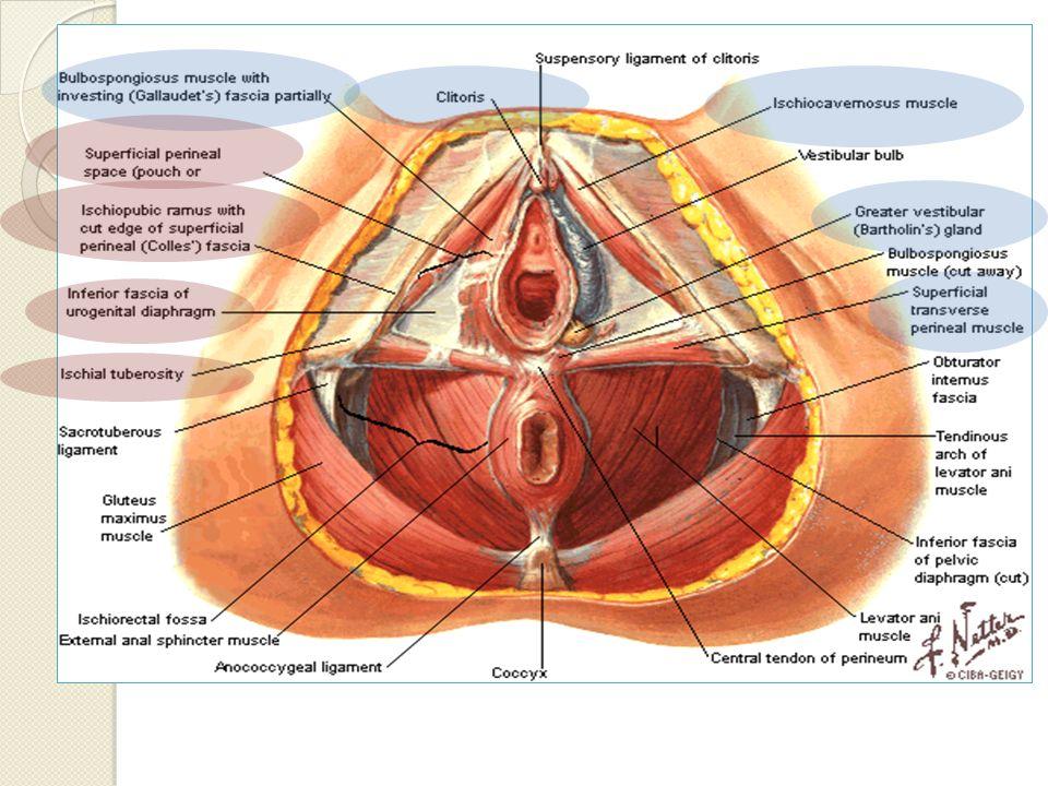Músculos del Compartimiento Perineal Superficial Bulbocavernoso Origen: Cuerpo perineal Inserción: Superficie posterior del clítoris, Fascia de los cuerpos cavernosos Inervación: Rama perineal del pudendo Acción: Esfínter de la vagina (compresión de bulbo vestibular) y ayuda en la erección del clítoris (compresión vena dorsal del clítoris)