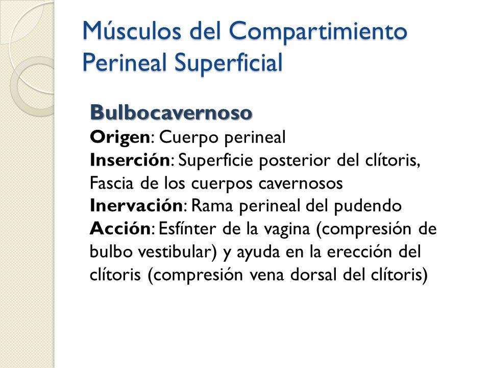 Músculos del Compartimiento Perineal Superficial Bulbocavernoso Origen: Cuerpo perineal Inserción: Superficie posterior del clítoris, Fascia de los cu