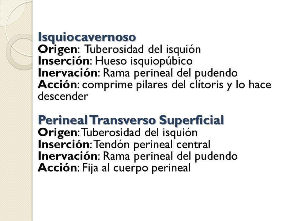 Isquiocavernoso Origen: Tuberosidad del isquión Inserción: Hueso isquiopúbico Inervación: Rama perineal del pudendo Acción: comprime pilares del clíto
