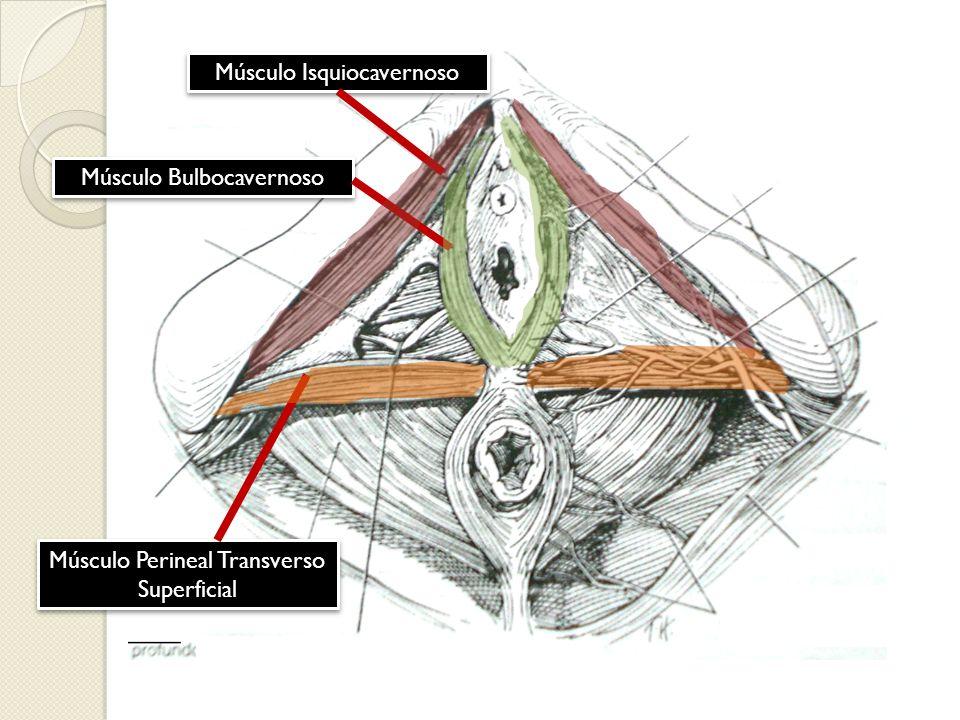 Músculo Isquiocavernoso Músculo Bulbocavernoso Músculo Perineal Transverso Superficial