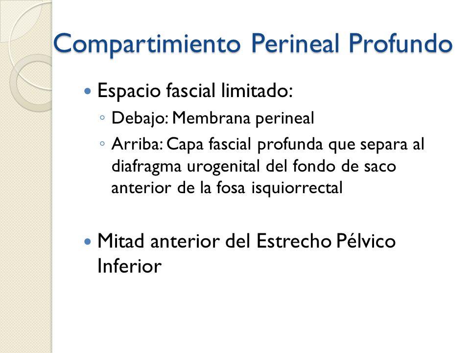Compartimiento Perineal Profundo Espacio fascial limitado: Debajo: Membrana perineal Arriba: Capa fascial profunda que separa al diafragma urogenital