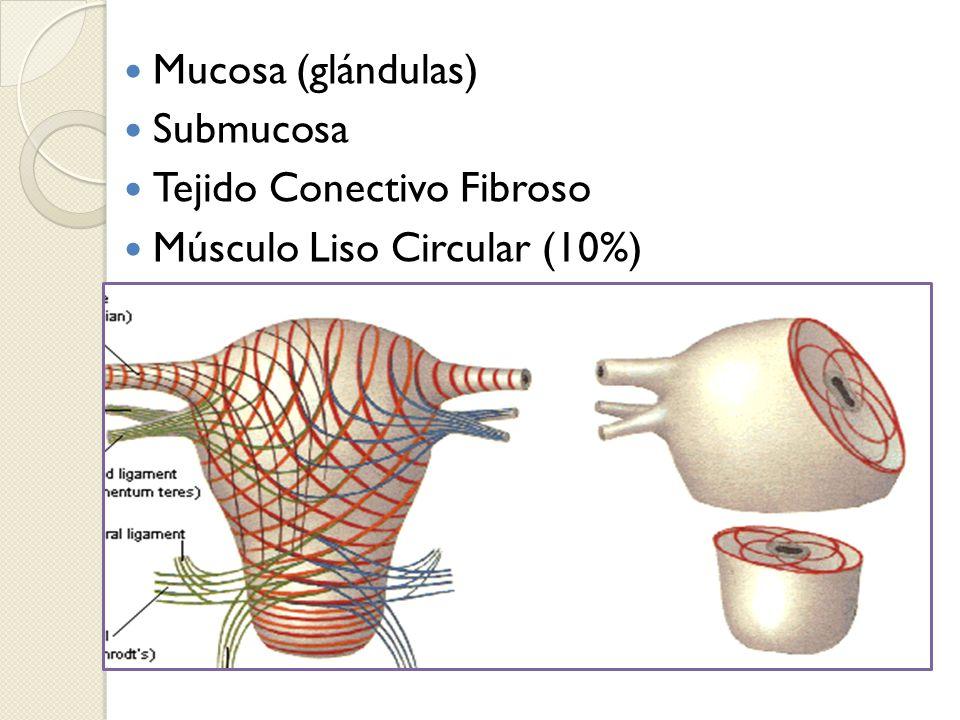 Mucosa (glándulas) Submucosa Tejido Conectivo Fibroso Músculo Liso Circular (10%)