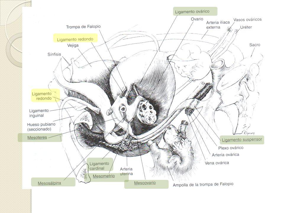 Trompas de Falopio Representan los extremos proximales del conducto de Müller Longitud de 7-12 cm Capta óvulo, provee ambiente para físico para concepción, transporta y nutre el óvulo fecundado