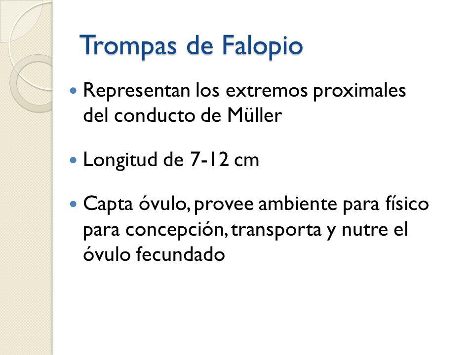 Trompas de Falopio Representan los extremos proximales del conducto de Müller Longitud de 7-12 cm Capta óvulo, provee ambiente para físico para concep