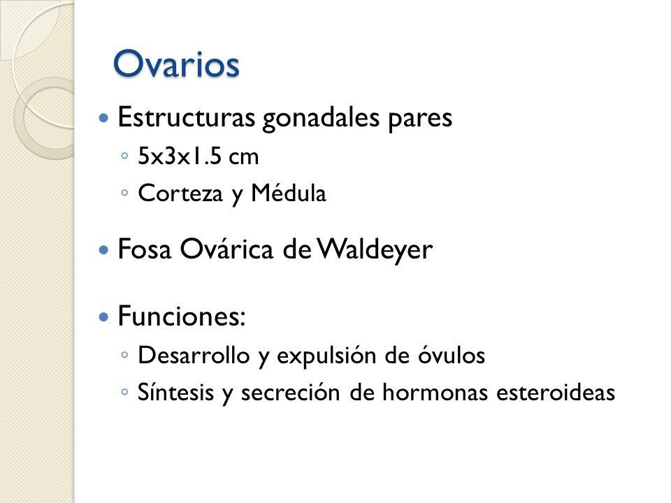 Ovarios Estructuras gonadales pares 5x3x1.5 cm Corteza y Médula Fosa Ovárica de Waldeyer Funciones: Desarrollo y expulsión de óvulos Síntesis y secrec