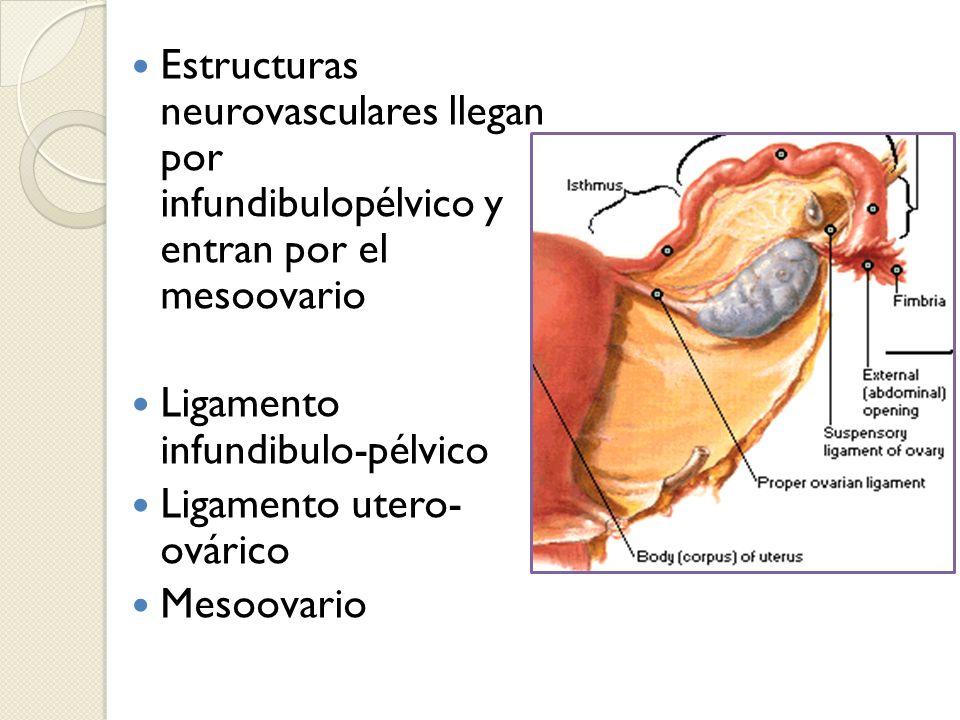 Estructuras neurovasculares llegan por infundibulopélvico y entran por el mesoovario Ligamento infundibulo-pélvico Ligamento utero- ovárico Mesoovario