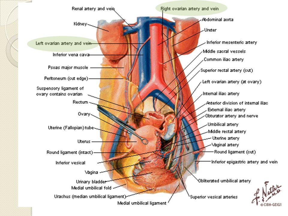 Arteria Mesentérica Inferior Retroperitoneal, izquierda, 2-5cm de bifurcación Sobre M.