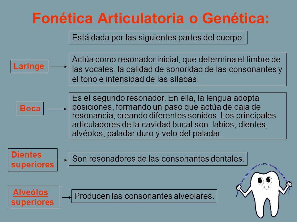 Fonética Articulatoria o Genética: Está dada por las siguientes partes del cuerpo: Laringe Actúa como resonador inicial, que determina el timbre de la