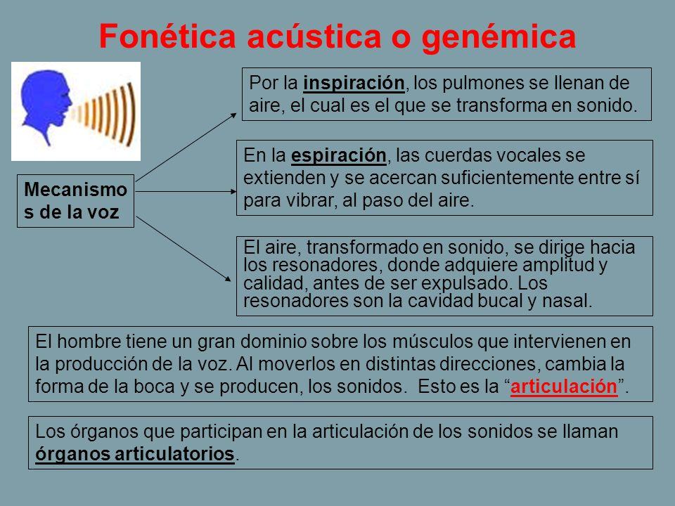 Fonética acústica o genémica Mecanismo s de la voz Por la inspiración, los pulmones se llenan de aire, el cual es el que se transforma en sonido. En l